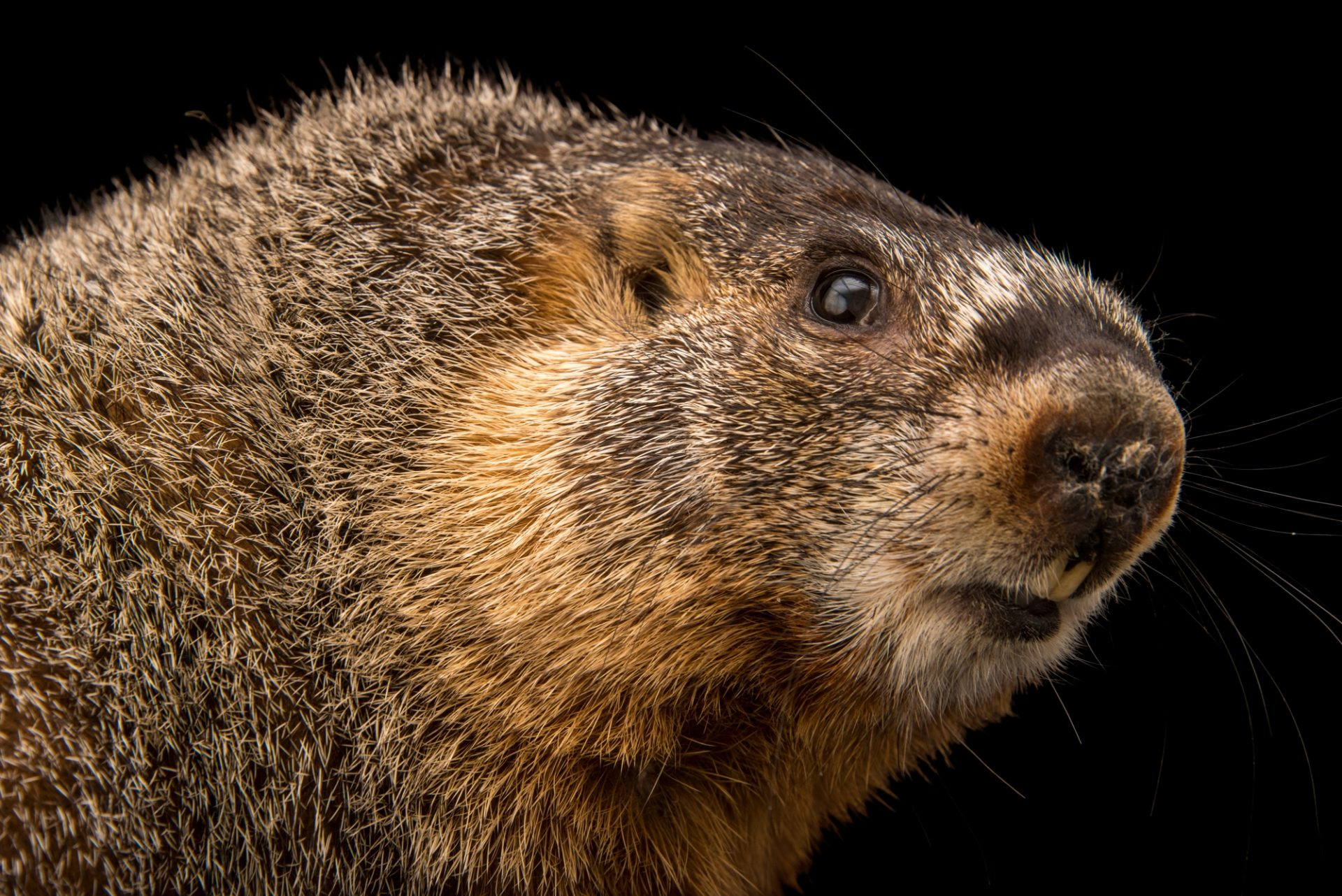 Photo: A female yellow-bellied marmot (Marmota flaviventris) at the hibernation study lab of Dr. Greg Florant at Colorado State University.