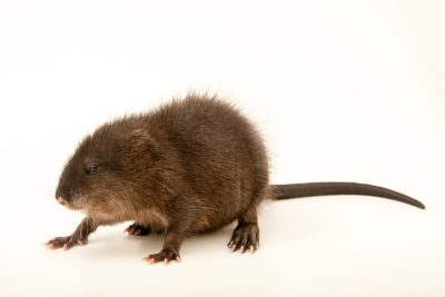 Photo: A juvenile muskrat (Ondatra zibethicus) at the Wildlife Rehabilitation Center of Minnesota.