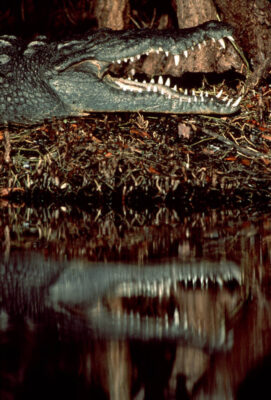 American crocodile (Crocodylus acutus) at Ding Darling National Wildlife Refuge in Florida. (US: federally endangered; IUCN: Vulnerable)