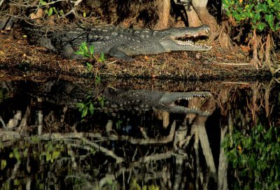 American crocodile (Crocodylus acutus) at Ding Darling National Wildlife Refuge in Florida. (US: federally endangered; IUCN: Vulnerable)