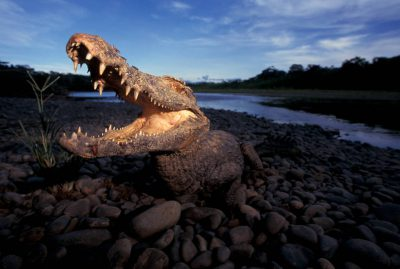 Photo: A wild caiman snaps at a bee on its nose in Madidi NationalPark, Bolivia.