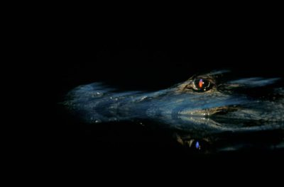 Photo: A wild caiman in the water at Madidi National Park, Bolivia.