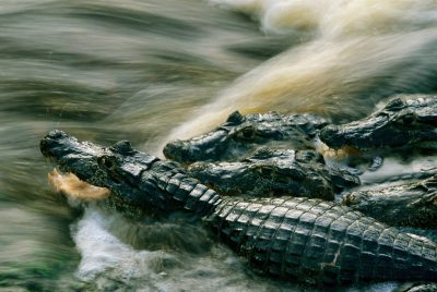 Photo: Caiman crowd around a waterfall hoping for an easy meal at Caiman Ranch in Brazil's Pantanal.