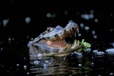 Photo: A caiman at Caiman Ranch in Brazil's Pantanal.