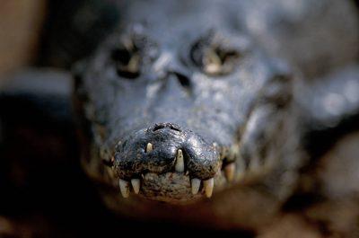 Photo: A close-up of a caiman at Caiman Ranch in Brazil's Pantanal.