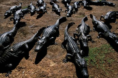 Photo: A group of caiman bask in the sun on the edge of the Brazilian Pantanal.