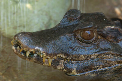 Photo: A Cuvier's dwarf caiman (Paleosuchus) at the Sunset Zoo in Manhattan, KS.