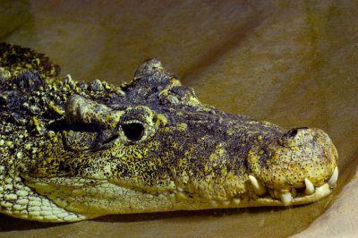 A critically endangered (IUCN) and federally endangered Cuban crocodile (Crocodylus rhombifer) at Reptile Gardens.