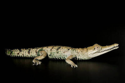 Photo: A freshwater crocodile (Crocodylus johnstoni) at Reptile Gardens.