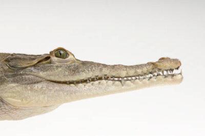 Photo: An American crocodile (Crocodilus acutus) at the Omaha Zoo.