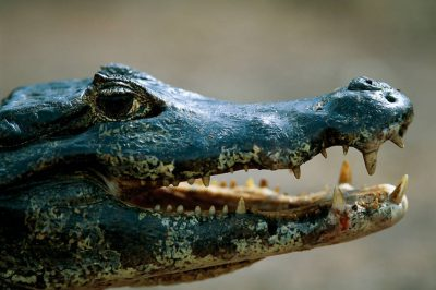 A profile portrait of a caiman (Caiman yacare) in Brazil's Pantanal region. This species is federally threatened