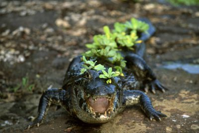 Photo: A caiman with vegetation stuck to its body in Brazil's Pantanal region.