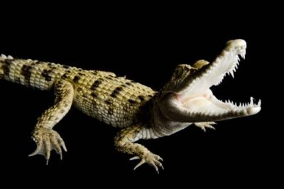 A critically endangered (IUCN) and federally endangered Philippine crocodile (Crocodylus mindorensis) at the Gladys Porter Zoo.