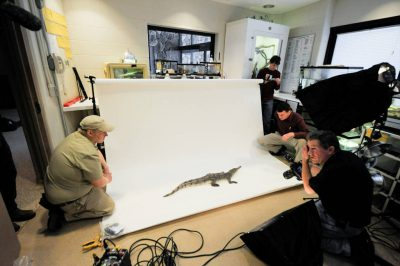 Joel Sartore films an American crocodile (Crocodylus acutus) (IUCN: Vulnerable, federally endangered) at the Omaha Zoo in Nebraska.