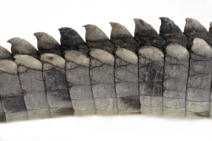 A vulnerable (IUCN) and federally endangered Amercian crocodile (Crocodylus acutus) at the Omaha zoo.