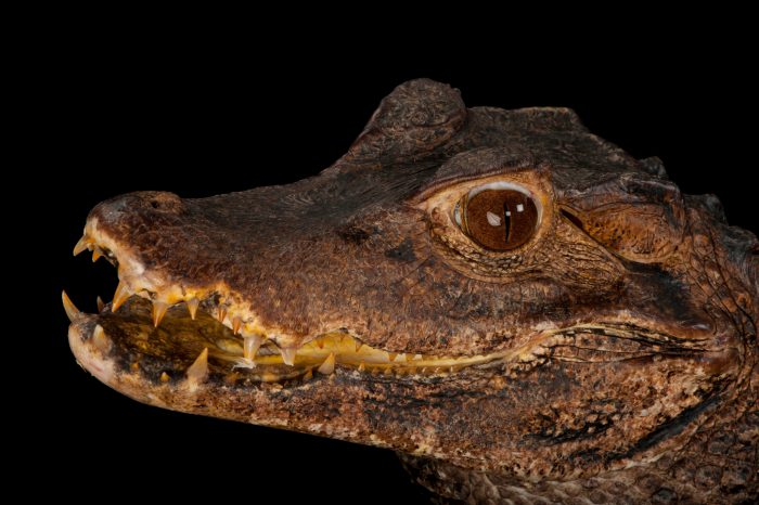 A dwarf caiman (Paleosuchus palpebrosus) at the Sunset Zoo.