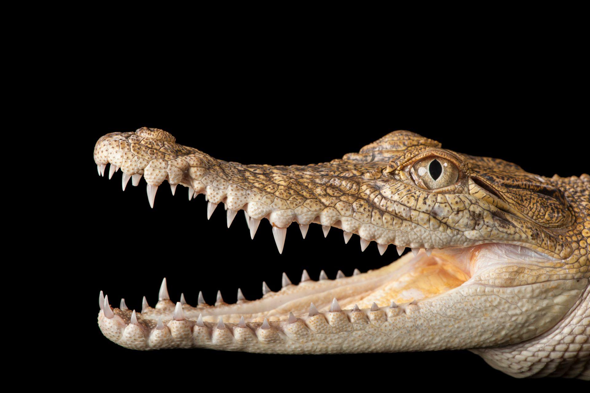 A saltwater crocodile (Crocodylus porosus) at Dreamworld.