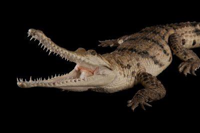 An Australian freshwater crocodile (Crocodylus johnsoni) at the Omaha Zoo.