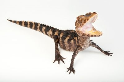 A juvenile Cuvier's dwarf caiman (Paleosuchus palpebrosus) at the Gladys Porter Zoo in Brownsville, Texas.