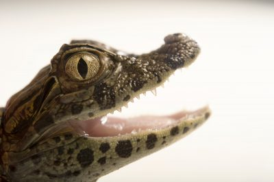 Picture of a federally endangered juvenile broad-nosed caiman (Caiman latirostris) at the Sedgwick County Zoo.