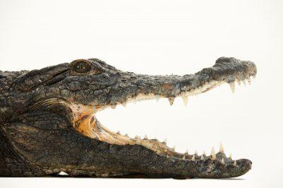 Picture of a desert crocodile (Crocodylus suchus) at the St. Augustine Alligator Farm.