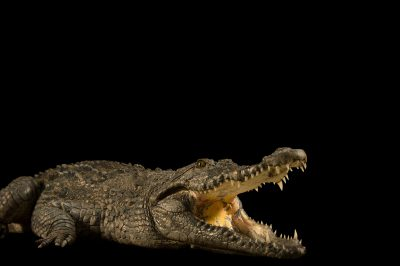 Picture of a West African crocodile (Crocodylus suchus) at the St. Augustine Alligator Farm.