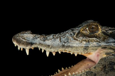 Picture of a federally endangered black caiman (Melanosuchus niger) at the St. Augustine Alligator Farm.