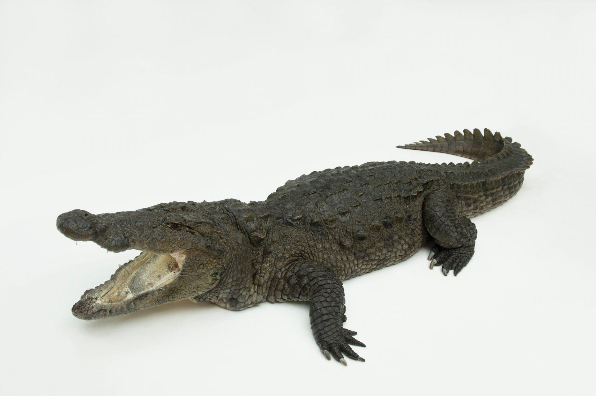 Picture of a vulnerable mugger crocodile (Crocodylus palustris) at the St. Augustine Alligator Farm.