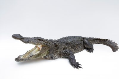 Picture of a vulnerable mugger crocodile (Crocodylus palustris) at the St. Augustine Alligator Farm.