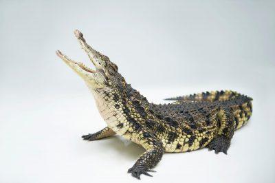 Picture of a Nile crocodile(Crocodylus niloticus) at the St. Augustine Alligator Farm.