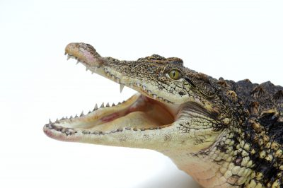 Picture of a Nile crocodile (Crocodylus niloticus) at the St. Augustine Alligator Farm.