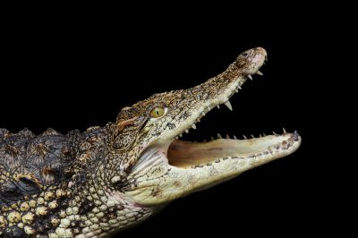 Picture of a Nile crocodile (Crocodylus niloticus) at the St. Augustine Alligator Farm.