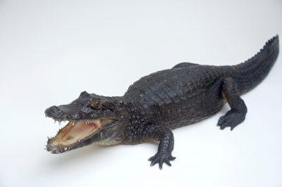A federally threatened Yacare caiman (Caiman yacare yacare) at the St. Augustine Alligator Farm.