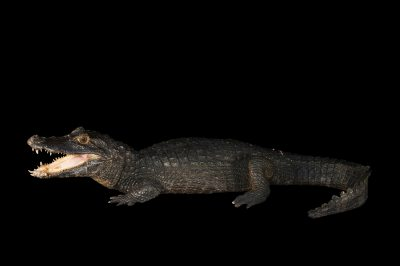 A federally threatened Yacare caiman (Caiman yacare yacare) at the St. Augustine Alligator Farm.
