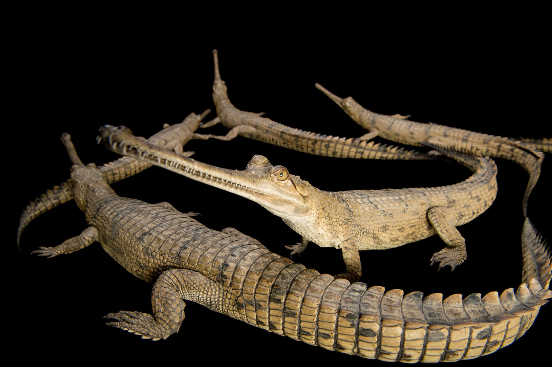 Picture of a critically endangered (IUCN) and federally endangered gharials (Gavialis gangeticus) at the Kukrail Gharial and Turtle Rehabilitation Centre in Lucknow, India.