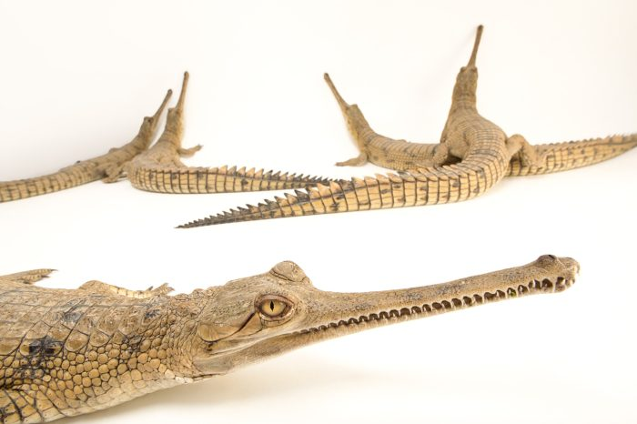 Picture of critically endangered (IUCN) and federally endangered gharials (Gavialis gangeticus) at the Kukrail Gharial and Turtle Rehabilitation Centre in Lucknow, India.