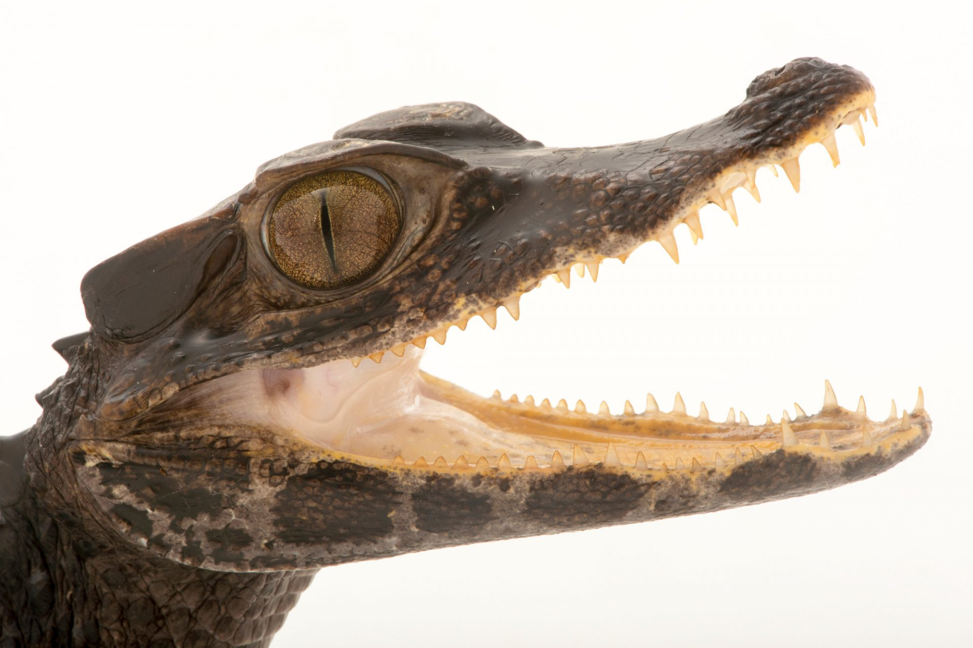 Photo: Smooth-fronted caiman (Paleosuchus trigonatus) from a private collection.