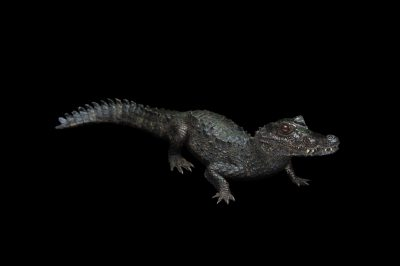 Photo: Smooth-fronted caiman (Paleosuchus trigonatus) at the St. Augustine Alligator Farm.