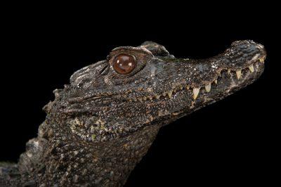 Photo: Smooth-fronted caiman (Paleosuchus trigonatus) at the St. Augustine Alligator Farm.