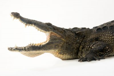 Photo: Morelet's crocodile (Crocodylus moreletii) at the St. Augustine Alligator Farm Zoological Park in St. Augustine, Florida.