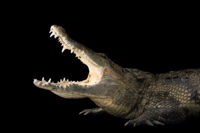 Photo: Morelet's crocodile (Crocodylus moreletii) at the St. Augustine Alligator Farm.