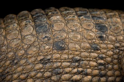 Hall's New Guinea crocodile (Crocodylus halli) at the St. Augustine Alligator Farm Zoological Park in St. Augustine, Florida.