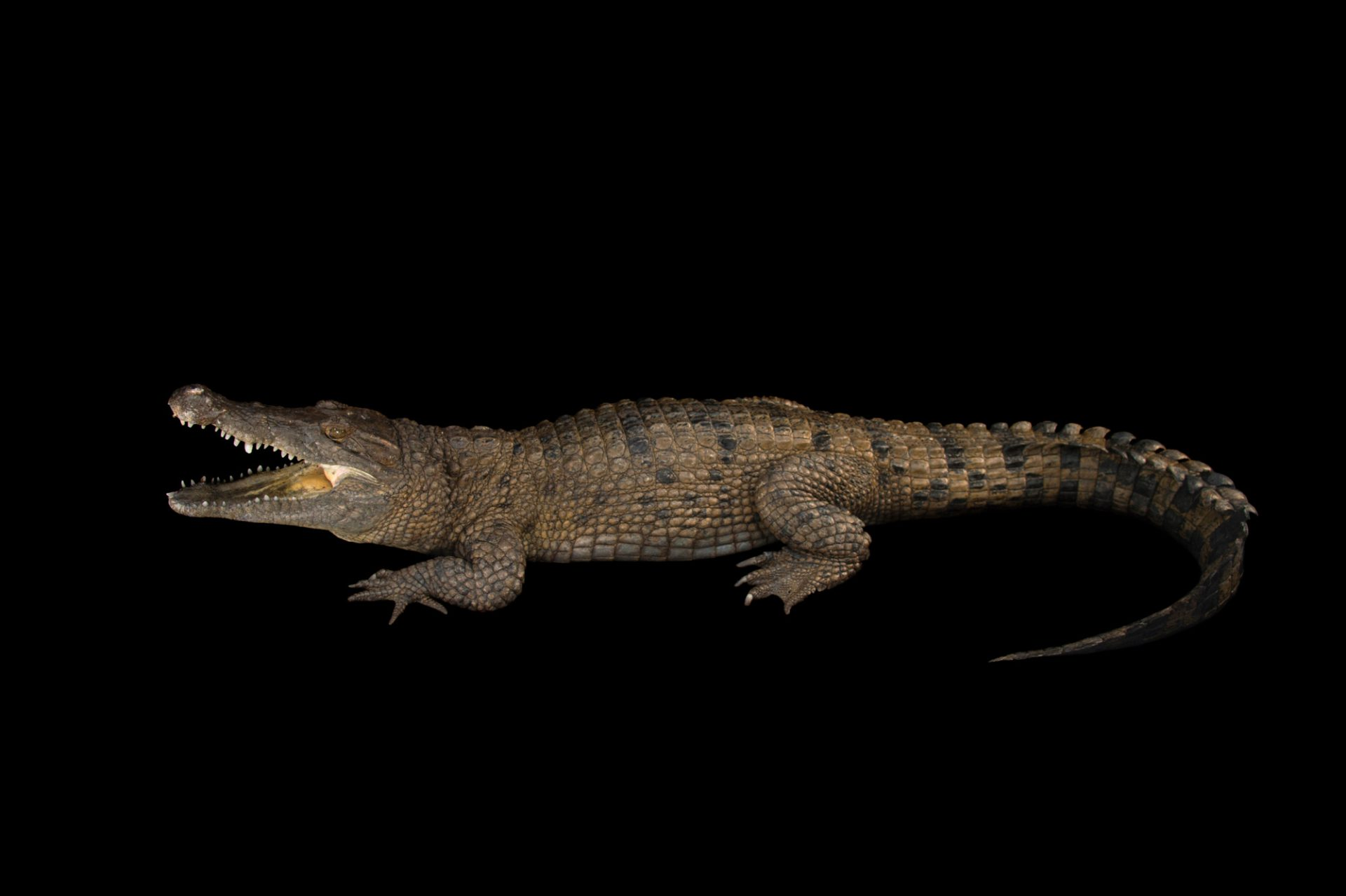 Hall's New Guinea crocodile (Crocodylus halli) at the St. Augustine Alligator Farm Zoological Park in St. Augustine, Florida.