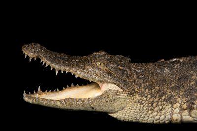 Photo: Siamese crocodile (Crocodylus siamensis) at the St. Augustine Alligator Farm.