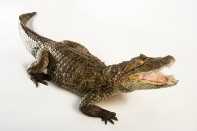 Broad-snouted caiman (Caiman latirostris) at the St. Augustine Alligator Farm Zoological Park in St. Augustine, Florida. Listed as federally endangered