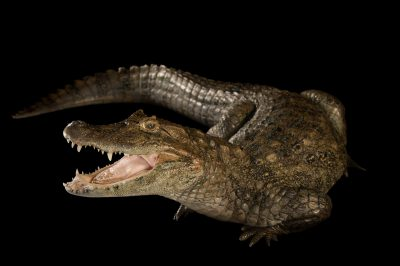 Photo: Broad-snouted caiman at the St. Augustine Alligator Farm.