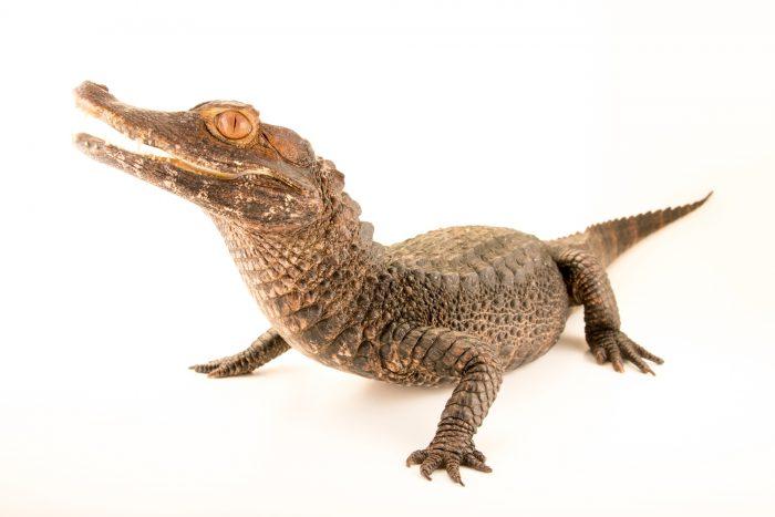 Photo: Brown caiman (Caiman crocodilus fuscus) at Lisbon Zoo.