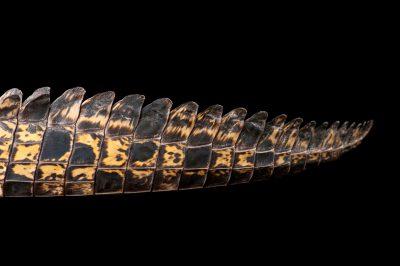 Photo: A saltwater crocodile (Crocodylus porosus) at Dreamworld.