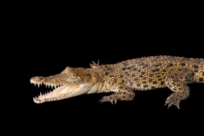 Photo: A saltwater crocodile (Crocodylus porosus) at Dreamworld.