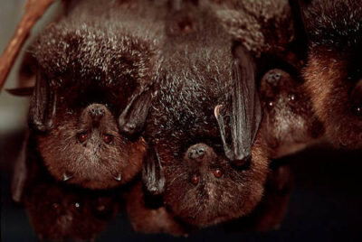 Photo: Critically endangered Rodrigues fruit bats (Pteropus rodricensis).